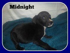 Midnight~ Labrador Retriever Mix • Baby • Male • Medium Lawrence County Dog Shelter Ironton, OH