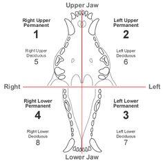 dog teeth chart human teeth vs dog cat  horse dental