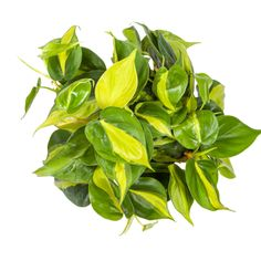 Alternating stripes of bright and dark green give the Philodendron Brasil its destinctive look. This lush vining indoor plant is very easy to care for and will add effortless style to your home. Hanging Plants, Indoor Plants, Indoor Garden, Amazing Gardens, Beautiful Gardens, Prayer Plant Care, Lower Lights, Liquid Fertilizer, Diy Garden Decor