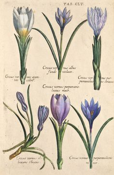 The Antiquarium - Antique Print & Map Gallery - Michael Valentini - Crocus Hand-colored copperplate engraving Vintage Botanical Prints, Botanical Drawings, Antique Prints, Nature Illustration, Floral Illustrations, Botanical Illustration, Botanical Flowers, Botanical Art, Illustration Botanique