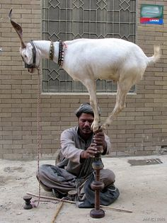 Tamasha (street art).    A street artist showing tamasha of a trained mountain goat. The goat is trying to maintain his balance balancing on a high wooden posts.
