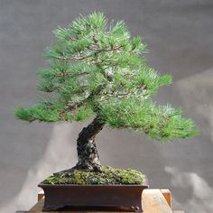 Japanese bonsai nursery by beartales.me