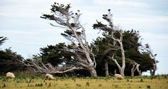 windy trees - new zealand New Zealand, Landscape, Plants, Travel, Animal Photography, Animals, Viajes, Scenery, Landscape Paintings