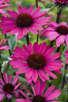 New Echinacea (1) From: Mijn Tuin, please visit