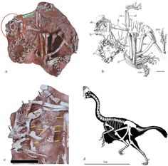 Oviraptorosaurs are a well-defined group of coelurosaurian dinosaurs, characterized by short, deep skulls with toothless jaws, pneumatized caudal vertebrae, anteriorly concave pubic shafts, and pos…