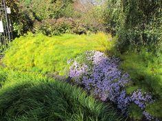 Amsonia hubrechtii - fall color