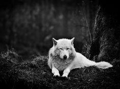 ハイイロオオカミ、ワシントン州体を休めるハイイロオオカミ。アメリカ、ワシントン州のオオカミ保護区「ウルフ・ヘイブン・イン...