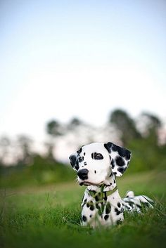 dalmations are one of my favorites.  beautiful!