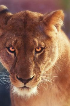 | Eyes of Fire | lion