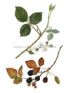 botanical illustration of two blackberry vines, one from spring and one from autumn