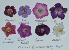 Geranium phaeums are among the first Geranium species to bloom