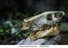 Znalezione obrazy dla zapytania animal skull