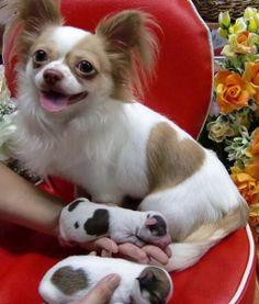 Marquinha da mamãe!!! Chihuahuas lindos!!!!