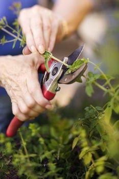 Burning Bush Pruning