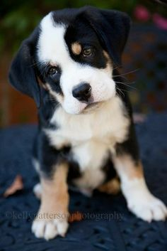 Quincy, English bulldog X Swiss Mountain dog by Kelly Patterson Puppies And Kitties, Cute Puppies, Pet Dogs, Dog Cat, Baby Dogs, Animals And Pets, Baby Animals, Funny Animals, Cute Animals