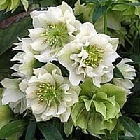 Julerose (Helleborus hybrid 'Swirling Skirts') > Juleroser > Stauder E-L > planteshop.dk