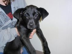 Blake is an adoptable Labrador Retriever Dog in Dahlonega, GA. There hasn't been a single visitor to the shelter that hasn't fallen immediately in love with Blake. This sweet boy is 4 and a half month...