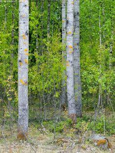 Haavikko - haapa haavat haavikko runko rungot metsä metsikkö lehtipuu lehti lehdet lehtimetsä jäkälä kevät
