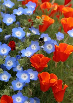 """Baby Blue Eyes"" looking extra fine with red hot Cal Poppy 'Red Chief.'"