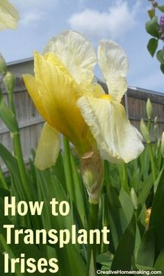 How to Divide and Transplant Irises Irises are easy to grow and easy to transplant when they need to be thinned. Here is how to transplant irises to a new location. Iris Garden, Lawn And Garden, Garden Plants, Iris Flowers, Bulb Flowers, Beautiful Flowers, Rare Flowers, Growing Flowers, Growing Plants