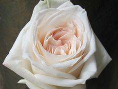 White O'Hara Garden Roses with blush pink centers: all year $