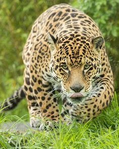 Photograph Jaguar Series by Colin Langford on 500px