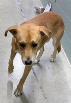 #27535 PEANUT is a 57 pound, Yellow Lab mix male who is about a year old.  He is strong and active and will need lots of exercise and a firm, kind hand to become the good dog his breed can be. He is a good looking boy, especially when his ears come...
