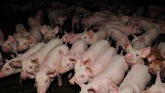De acordo com o MInistério da Agricultura, resposta ao pedido do Brasil deve ser dada em até dois meses