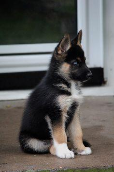 7 week old Gerberian Shepsky Cross between a German Shepherd and a Husky!!!  He has one blue eye and one brown eye!!! #germanshepherdpuppy