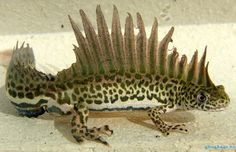 The Southern Banded Newt Looks Just Like a Real-Life Water Dragon! - The Featured Creature Cute Reptiles, Reptiles And Amphibians, Mammals, Weird Creatures, Sea Creatures, Geckos, Beautiful Creatures, Animals Beautiful, Animals And Pets