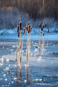 Cattails on ice by Mika Pulkkinen on 500px