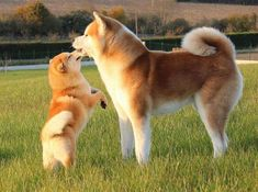 The MOST FAMOUS Japanese Dog Breeds, find out! Wakyma - The most famous breeds of Japanese dogs Akita Inu - Akita Puppies, Akita Dog, Cute Puppies, Dogs And Puppies, Shiba Inu, Chien Akita Inu, Japanese Dog Breeds, Japanese Dogs, Pet Dogs