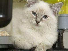 Die Ragdoll, eine muskulöse Katze, die bereits in den 1960er-Jahren gezüchtet wurde — Bild: Shutterstock / cath5    www.einfachtierisch.de