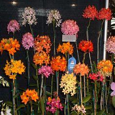 Basic Orchid Care for Beginners - Epidendrum Orchid Plant Care, Orchid Plants, Exotic Plants, Air Plants, Hanging Orchid, Orquideas Cymbidium, Orchids Garden, Orchidaceae, Cactus
