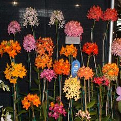 Epidendrum group
