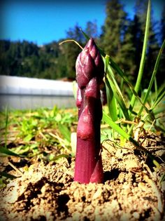 Grow asparagus from seed with this handy guide; starting asparagus from seed is a rewarding experience that is easier than you think. Growing Asparagus From Seed, Grow Asparagus, Asparagus Garden, Organic Gardening Tips, Vegetable Gardening, Grow Organic, Organic Fruit, Mother Earth News, Garden Guide