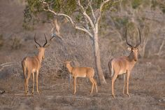 Community conservation of an endangered Kenyan antelope