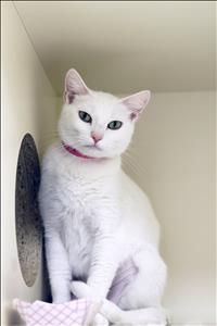 """Meet Maman, a Petfinder adoptable Domestic Short Hair Cat 