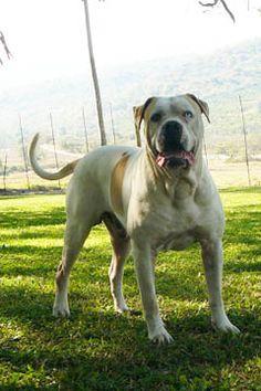 White Twister's Finn Blue American Bulldog, Marina Blue, South Africa, Labrador Retriever, Pup, Animals, Labrador Retrievers, Animales, Animaux