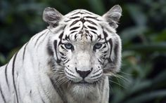 Beautiful White Tiger | white_tiger_wallpapers_desktop_wallpapers_White+Tiger+wallpapers+Free ...