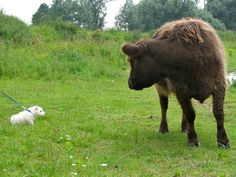 Bobby meets bison 1