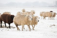 Flock White and Black Sheep in the Snow Premium Photographic Print at AllPosters.com
