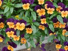 Winter hanging baskets - List of plants for hanging baskets that will stay pretty throughout the winter, with links to other articles about cold weather gardening!