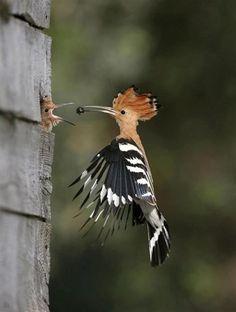 Hoopoe feeding young