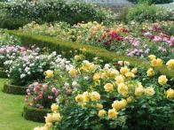 """If planted closely together (approximately 18"""" apart), a group of three roses can look exactly like one large shrub. Massing color is more dramatic than featuring three separate plants with space in between."""