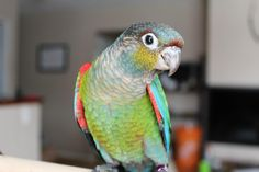 Crimson-Bellied Conure by Handfed Handfuls #parrots #birds #pets  Please like our facebook page:  https://www.facebook.com/pages/Handfed-Handfuls/337881102982694?ref=ts=ts