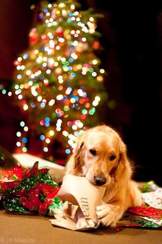 Golden Retriever ... Christmas lights. This would be an easy shot-- my dogs love ripping paper and cardboard :)