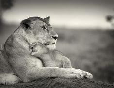Gorgeous shot of a lioness and her cub. <3