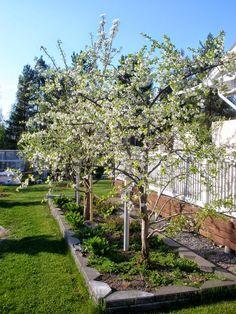 pensaskirsikka on pikkupuu, josta marjat saa mukavasti napsittua.