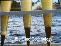 Shrimp Farming: Biofloc technology